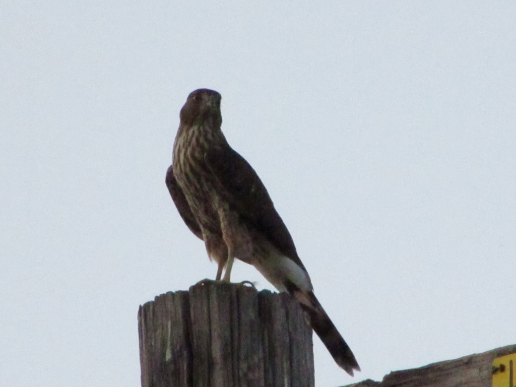 Cooper's Hawk on telephone pole